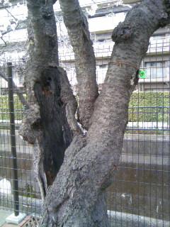 幹が空洞化したソメイヨシノ
