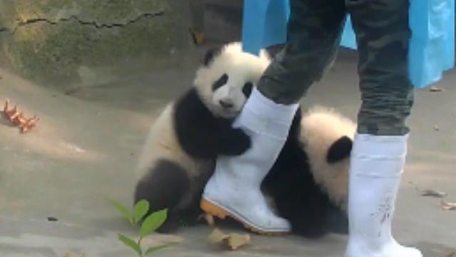 飼育員と遊びたがる子どもパンダ