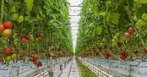 トマトの栽培