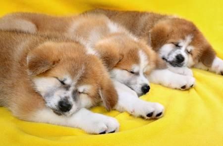 寝ている秋田犬子犬