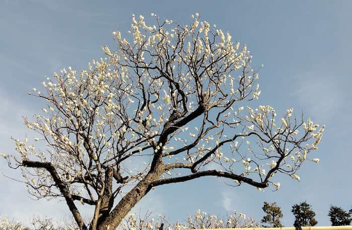 4分咲きの梅